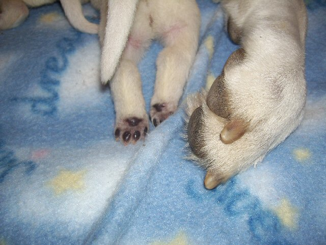 White Shepherd Puppies, Shylo Star Kennels, Rhinelander WI,  Service Dog, CGC Evaluator