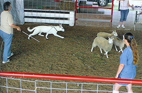 Herding, Lexi, White Shepherds, Shylo Star Kennels, Rhinelander WI,  Service Dog, CGC Evaluator