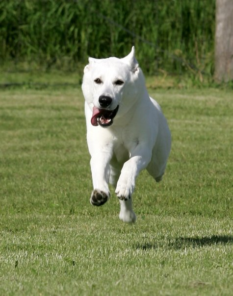 Lexi, White Shepherds, Shylo Star Kennels, Rhinelander WI,  Service Dog, CGC Evaluator