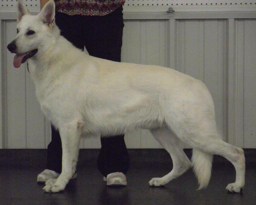 White Shepherds, UNJ, URO1, CA, UKC GRCH, Shylo's Tri-Max Star, CGC, VCC, HIC d, VCCX, OV, ATT, Therapy Dog, MDR1(n/n), OFA Hips - Good, OFA Elbows - Normal, OFA Cardiac - Normal, Pennhip (90%), TLI, OFA full deten.