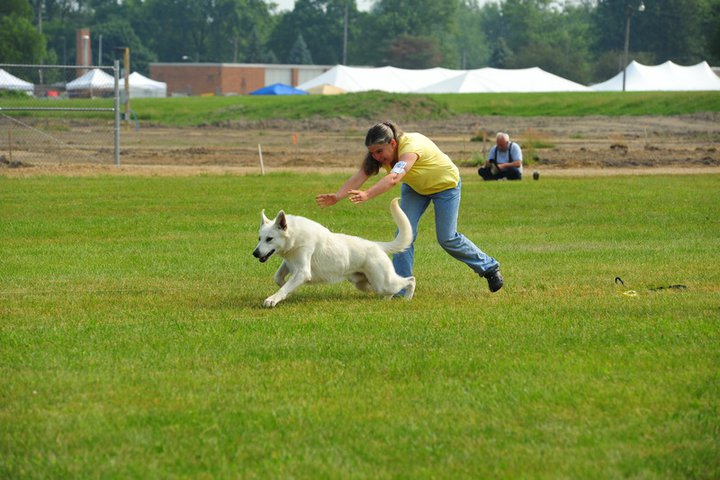 Max lure coursing, Max, White Shepherds, Shylo Star Kennels, Junior Handler, Zoie,  Rhinelander WI,  Service Dog, CGC Evaluator