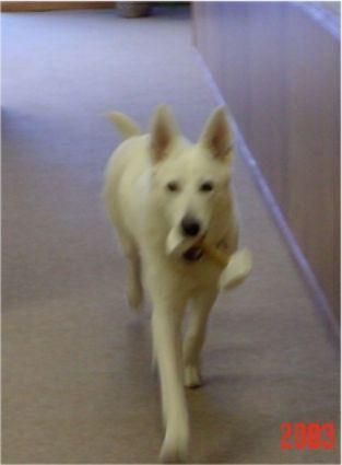 Shira obedience, White Shepherds, Shylo Star Kennels, Rhinelander WI,  Service Dog, CGC Evaluator