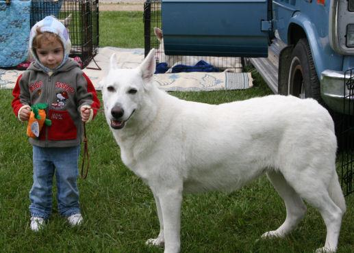 Junior Zoie, White Shepherd Shira, Shylo Star Kennels, Rhinelander WI,  Service Dog, CGC Evaluator