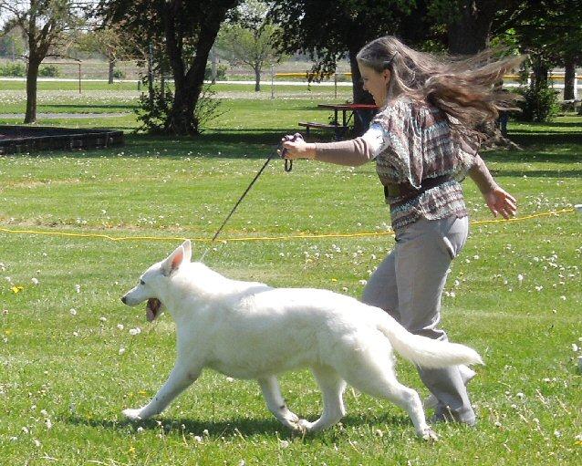 Shira showing, White Shepherd Shira, Shylo Star Kennels, Rhinelander WI,  Service Dog, CGC Evaluator
