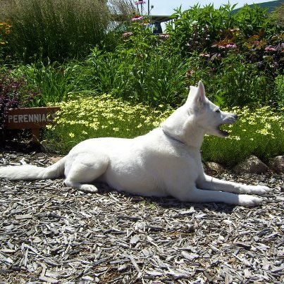 White Shepherd Shira, Shylo Star Kennels, Rhinelander WI,  Service Dog, CGC Evaluator