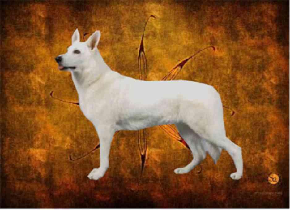 Shira, White Shepherds, Shylo Star Kennels, Rhinelander WI,  Service Dog, CGC Evaluator