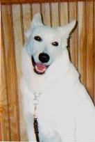 White Shepherd, Shira, White Shepherds, Shylo Star Kennels, Rhinelander WI,  Service Dog, CGC Evaluator