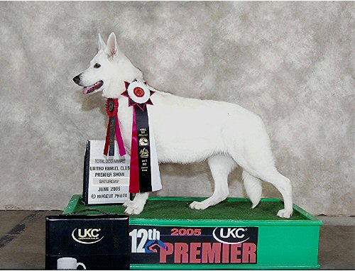 Shira, White Shepherd Shira, Shylo Star Kennels, Rhinelander WI,  Service Dog, CGC Evaluator