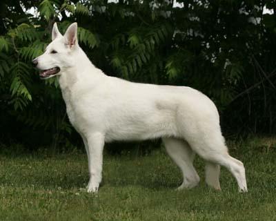 Keely, White Shepherds, Shylo Star Kennels, Rhinelander WI,  Service Dog, CGC Evaluator
